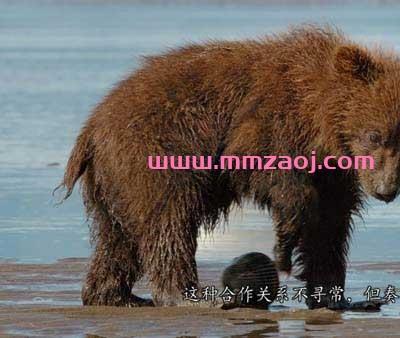 2014迪士尼自然纪录片《熊世界 Bears》下载 mkv/1080p/英语/中英字幕 百度云网盘