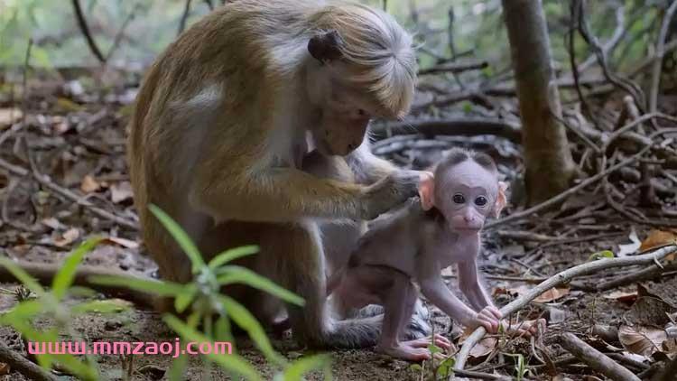 2015迪士尼自然纪录片《猴子王国 Monkey Kingdom》下载 mkv/720p/中英字幕 百度云网盘